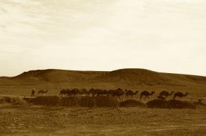 Camel herd sepia
