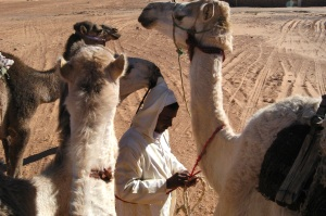 When traveling in a pack, you can tie one leash to another to another and more so that you only need to hold onto one and the camels follow each other. If their owner needs to take a break, he ties the front legs of the lead camel together and it slows the herd down enough that he doesn't have to worry about them wandering off.